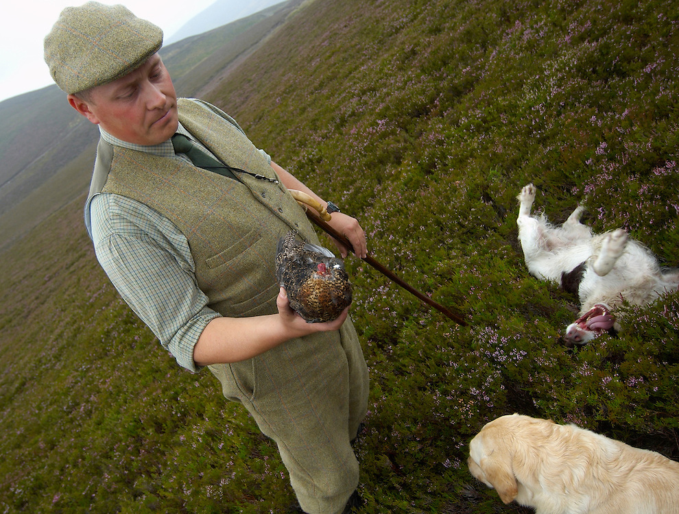 The gamekeepers of Glen Lethnot estate finds a dead grouse probably killed by a fox during the night, in the build up  to the Glorious 12th, the official start of the red grouse shooting season (this year Monday 13th August)  ANGUS, SCOTLAND AUG 10 ..The Glorious Twelfth is usually used to refer to August 12, the start of the open season for grouse shooting in the United Kingdom. This is one of the busiest days in the shooting season, with large amounts of game being shot. It is also a major boost to the rural economy. ..Since the start of the season traditionally does not begin on a Sunday, it is sometimes postponed to August 13, as in 2001 . In recent years, the event has been hit by hunt saboteurs, the 2001 foot and mouth crisis (which further postponed the date in affected areas ) and the effect of sheep tick and the gut parasite Trichostrongylus tenius...The Game Conservancy Trust conducts scientific research into Britain's game and wildlife. Advising farmers and landowners on improving wildlife habitat and lobbying for agricultural and conservation policies based on science..Many of their  supporters take part in field sports.