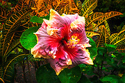 Hibiscus flower in the Galaxy Garden, Paleaku Gardens Peace Sanctuary, Kona Coast, The Big Island, Hawaii USA