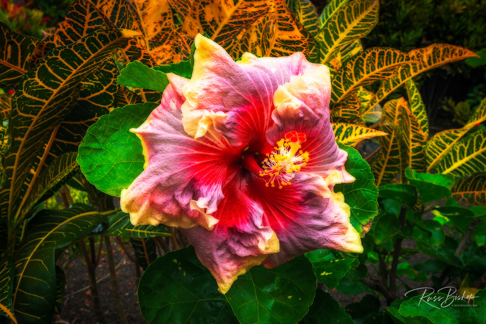 Hibiscus flower in the Galaxy Garden, Paleaku Gardens Peace Sanctuary, Kona Coast, The Big Island, Hawaii USA
