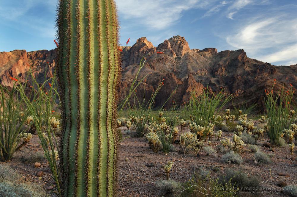 Saguaro cactus, Kofa Mountains Wildlife Refuge Arizona
