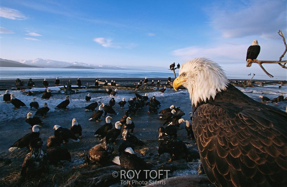 American bald eagles, Haliaeetus leucocephalus, on beach.