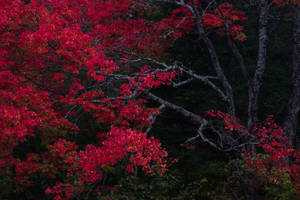 https://Duncan.co/red-maple-tree-at-dusk