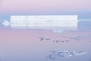 Adelie penguins porpoise out of the calm waters of the Weddell Sea in front of a tabular iceberg in Antarctic Sound, Antarctica.