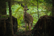 Deer wandering through Point Defiance Park - Tacoma, WA