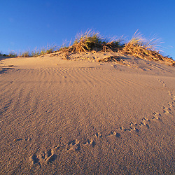 Bird tracks in the sand on a dune. Parker NWR, Plum Island, MA