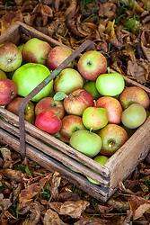 Wooden trug filled with harvested apples ready to store