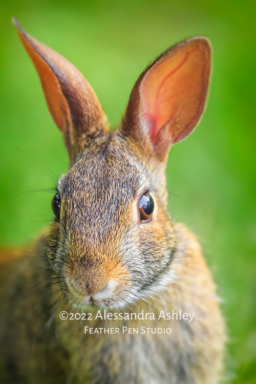 Eastern cottontail wild rabbit poses for portrait.