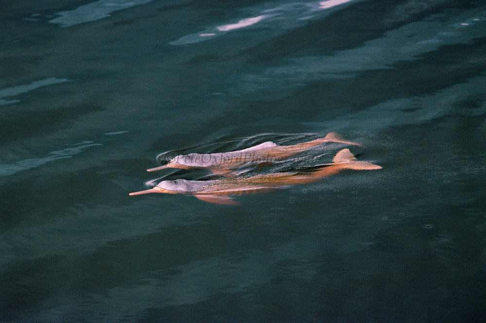 Amazon River Dolphin or Boto or Pink river Dolphin<br />Inia geoffrensis<br />Mamiraua Flooded Forest, BRAZIL<br />RANGE: Amazon Basin, Orinoco Basin & Madeira River