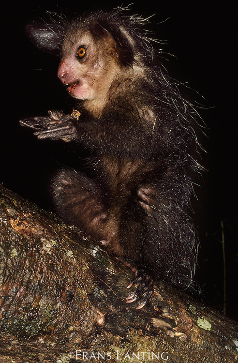 Aye-aye with prey, Daubentonia madagascariensis, Western Madagascar