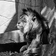 Soul Survival: African Lion (Scientific name: Panthera leo)<br />