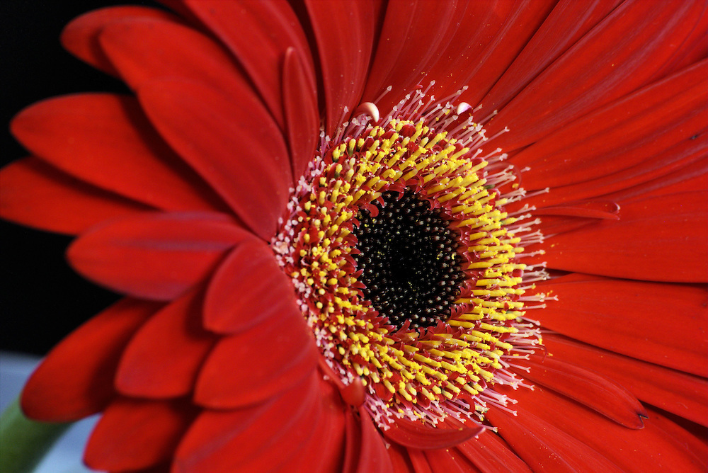 Red Daisy macro