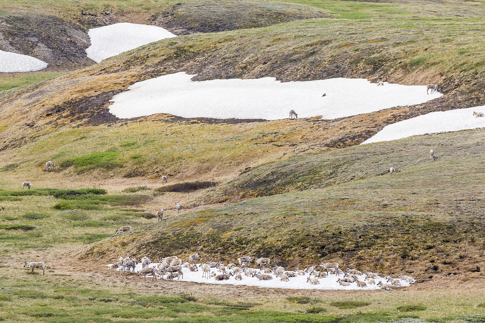 Caribou (Rangifer tarandus) chilling on remnant snow field at Highway Pass in Denali National Park in Interior Alaska. Summer. Morning.