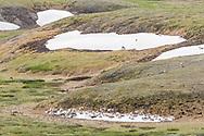 Caribou (Rangifer tarandus) chilling on remnant snow field at Highway Pass in Denali National Park in Interior Alaska. Summer. Morning.
