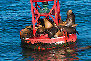 California sea lions on a harbor buoy, Ventura, California