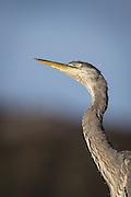 Gray Heron looking in the sky   Gråhegre som ser opp i luften.