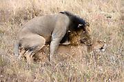 Mating lions in Nairobi NP, Kenya.