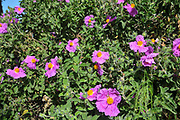 Cistus creticus Pink Rockrose or soft-hairy rockrose (syn Cistus incanus and Cistus villosus L.) Photographed in Israel Carmel mountains in May