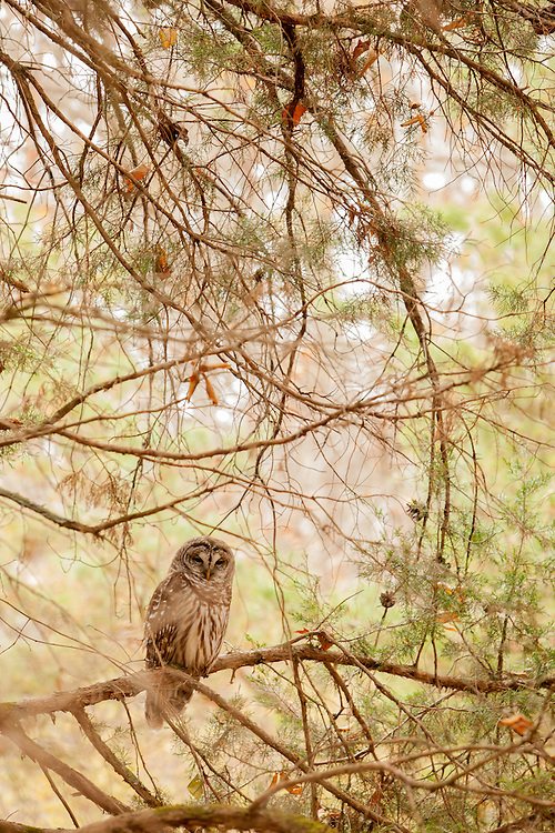 Virginia Barred Owl