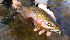 Rainbow & Other Trout