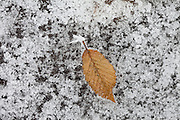Winter scene hoar frost on hornbeam leaf on frozen pond in The Cotswolds, UK