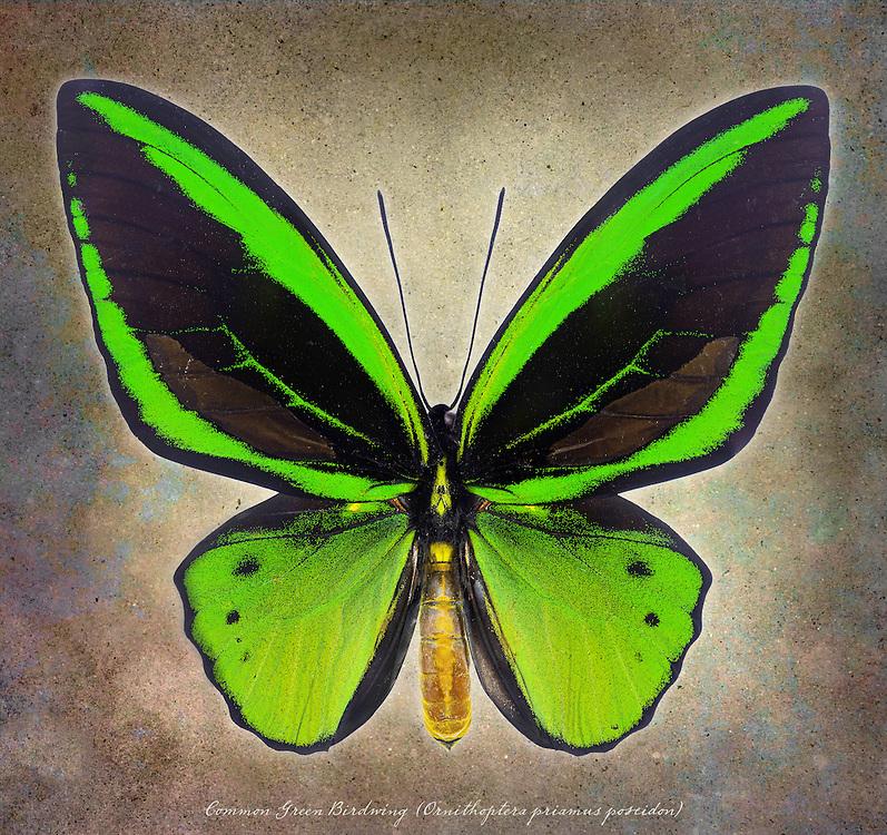 Priam's Birdwing (Ornithoptera priamus poseidon) / #LPD178b