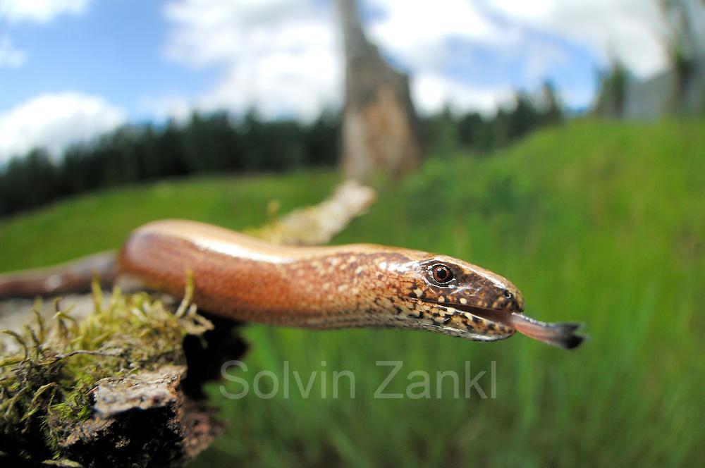 Slow worm (Anguis fragilis) |Blindschleiche (Anguis fragilis) auf der Grünbrücke in Schleswig-Holstein (Kiebitzholm)