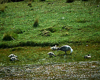Upland Goose family while traveling from Estancia Lazo to Hosteria Lago Grey. Torres del Paine National Park, Chile. Image taken with a Nikon D3s camera and 70-300 mm VR lens (ISO 200, 300 mm, f/11, 1/500 sec).