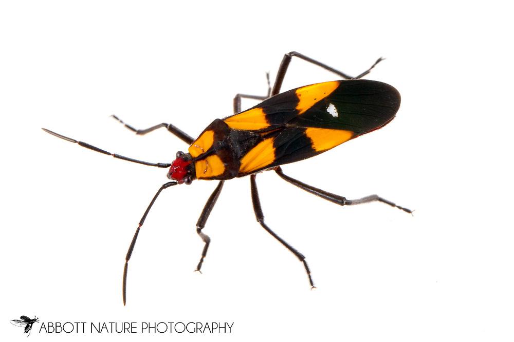 Six-spotted Milkweed Bug (Oncopeltus sexmaculatus)<br /> TEXAS: Hidalgo Co.<br /> Old Hidalgo Pumphouse; Hidalgo<br /> 8-Nov-2014<br /> J.C. Abbott &amp; K.K. Abbott