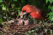 Cardinal Nest Day 6