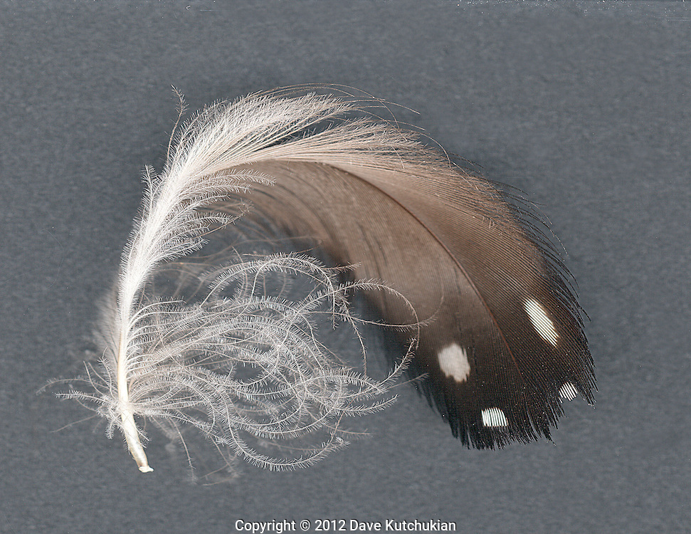 loon feathers rescued fromthe surface of the lake.