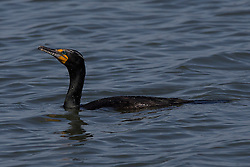 Double-crested Cormorant (Phalacrocorax auritus), San Francisco International Airport, Millbrae, California, United States of America