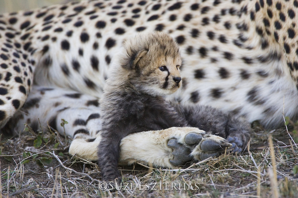Cheetah<br /> Acinonyx jubatus<br /> 16 day old cub resting on its mother's leg<br /> Maasai Mara Reserve, Kenya