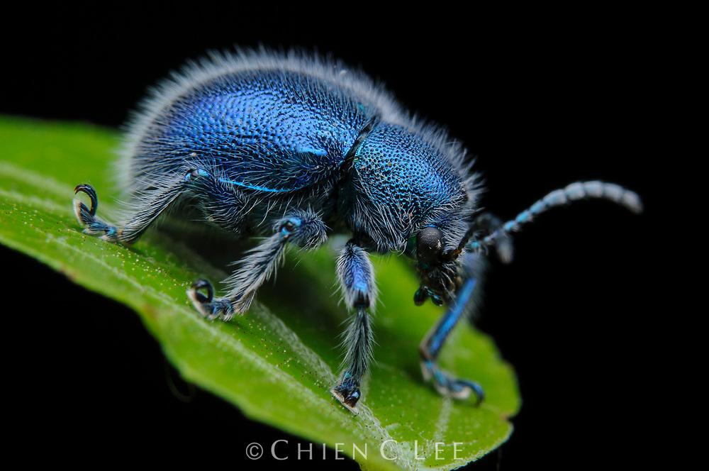A tiny leaf beetle (Trichochrysea hirta) from rainforest in western Sarawak.
