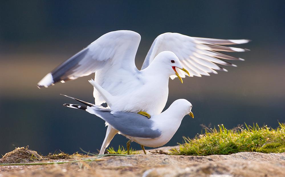 Common gulls , mating
