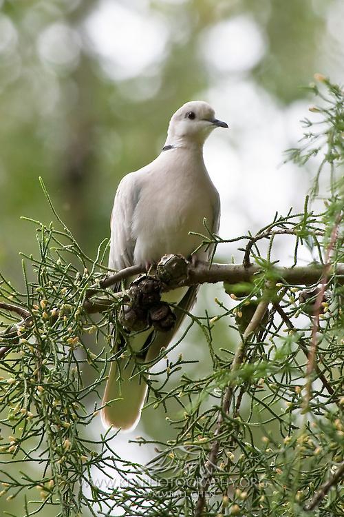 Barbary dove, Southland, New Zealand