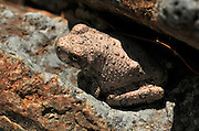 A Canyon Treefrog, (Hyla arenicolor), sits along a stream in Gardner Canyon, Santa Rita Mountains, Coronado National Forest, Sonoran Desert, near Sonoita, Arizona, USA.