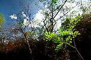 Parauapebas_PA, Brasil...Jaborandi (Pilocarpus pennatifolius) na Floresta Nacional de Carajas, Para...The plant Jaborandi (Pilocarpus pennatifolius) in the Carajas National Forest, Para...Foto: JOAO MARCOS ROSA / NITRO