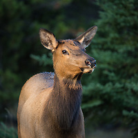 cow elk in evening light