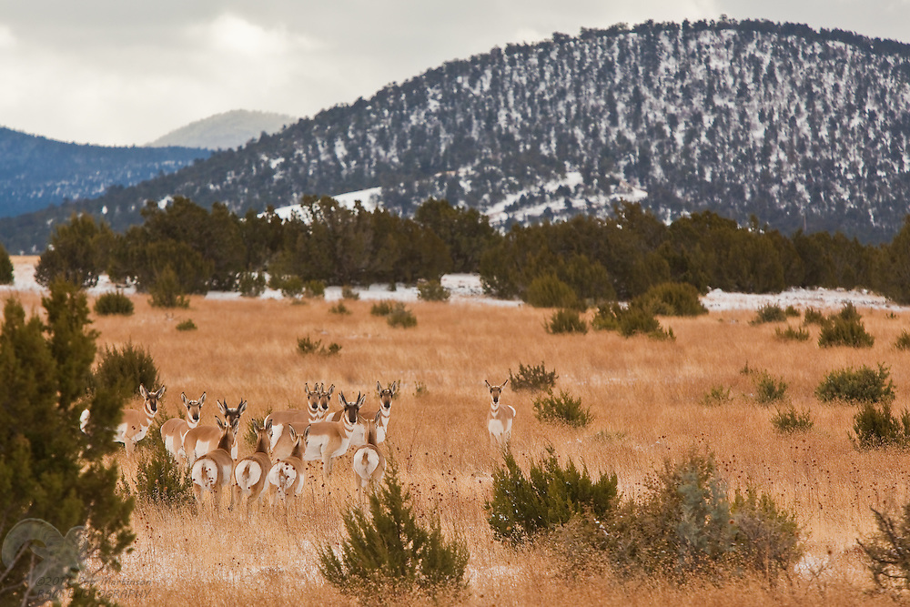 A herd of Antelope graze in the foothills of the White Mountains of Arizona, near Show Low, as snow drives them to lower altitudes.