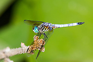 Blue Dasher (Pachydiplax longipennis) - male<br /> VIRGINIA: Rockingham Co. <br /> Lake Shenandoah in Ashby<br /> 29-June-2015<br /> J.C. Abbott #2758 &amp; K.K. Abbott
