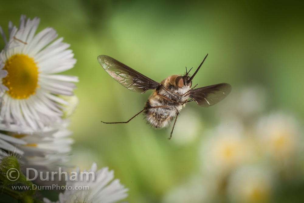 Not actually a bee - but fly that is a bee mimic. A greater bee-fly (Bombylius major) photographed in the Cherokee National Forest, Tennessee.