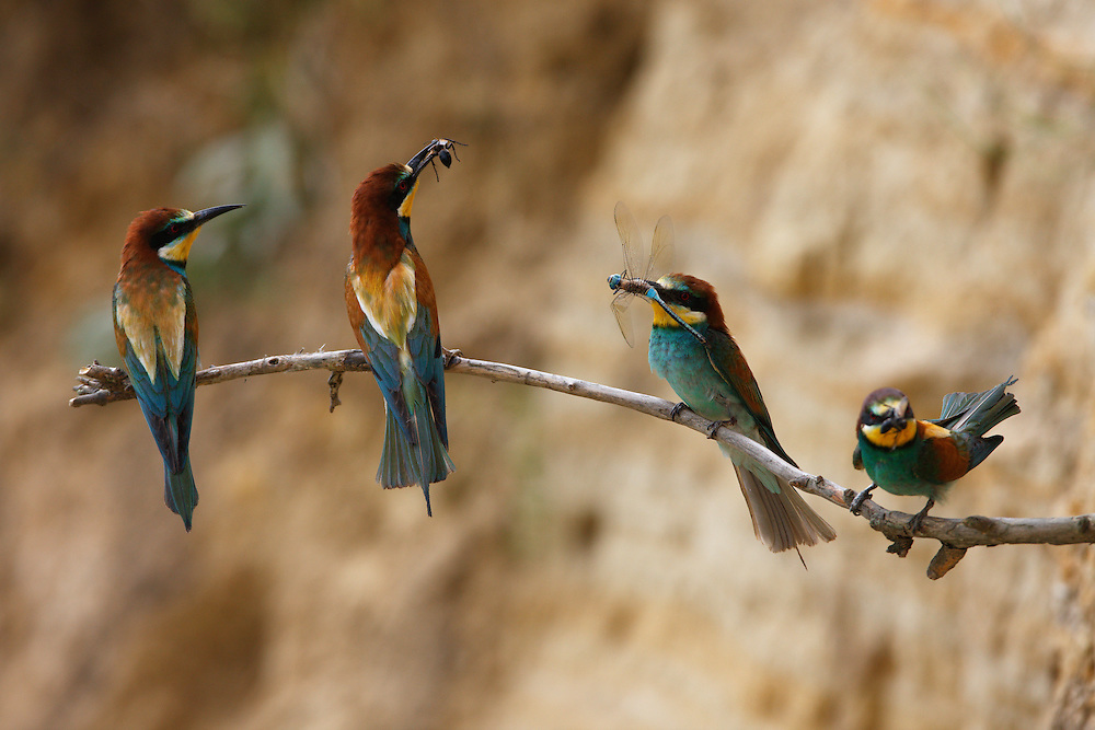 Bee-eaters in breeding colony, Bagerova Steppe, Kerch Peninsula, Crimea, Ukraine