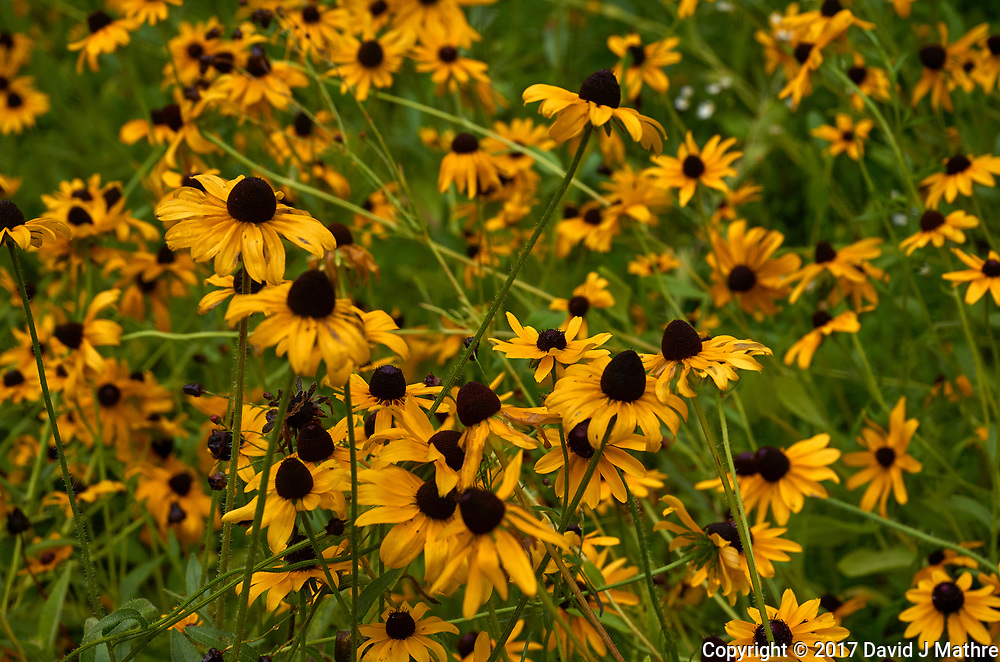 Blackeyed Susan flowers. Backyard summer nature in New Jersey. Image taken with a Leica T camera and 55-135 mm lens (ISO 100, 55 mm, f/5.6, 1/125 sec).