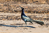 A great-tailed grackle struts along the sand with its head in the air, Puerto Vallarta, Mexico