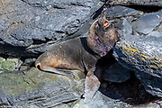Southern Sea Lion (Otaria flavescens, male) from Sea Lion Island, the Falklands.