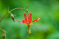The red columbine has had a significant role in its habitat and ecology. As an important food source for hummingbirds, it has had a historical importance for native American tribes as both a medicine and a perfume.