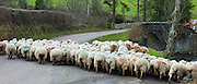 Flock of sheep in country lane in the Doone Valley on Exmoor in North Devon, UK