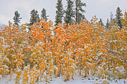 Snow and aspen trees in autumn colors <br />