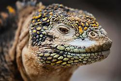 Portrait of endemic Galapagos Land Iguana (Conolophus subcristasus), North Seymour Island, Galapagos Islands, Ecuador