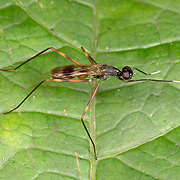 Micropezidae (Stilt-legged Fly). The Micropezidae are a moderate-sized family of acalyptrate muscoid flies in the insect order Diptera, comprising about 500 species in about 50 genera and 5 subfamilies worldwide,.